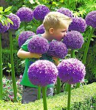 3 x ALLIUM Gladiator - GIANT Perennial Plant BULBS