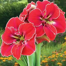Large Amaryllis MAGICAL TOUCH 26/28 centimeters large