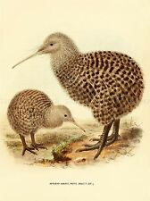 DRAWING BIRD ROWLEY KEULEMANS SPOTTED KIWI FAMILY ART PRINT LAH356A