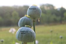 Organic Jumbo Poppy Giganteum Papaver Somniferum 1000+ SEEDS