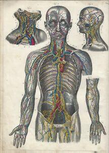 Stampa antica ANATOMIA CORPO UMANO PARTE SUPERIORE medicina 1850 Antique print
