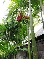 ☺10 graines de palmier bambou géant / Chamaedorea Costarica