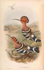 J Gould riproduzione BIRD print UPUPA nioripennis da volatili dell' Asia. # 11