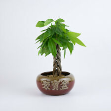 "Money Tree - Indoor House Plant in Red Glazed Round Chinese Pot ""Abundant"""