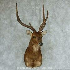 #13314 E | Rusa Deer Shoulder Taxidermy Head Mount - Red Sitka Axis