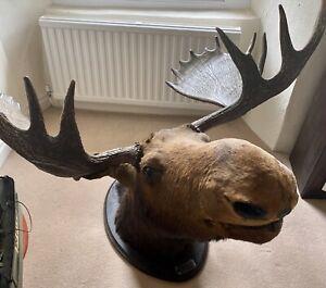Huge Moose Elk Head taxidermy mount, stag antlers