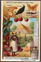 Fruit - The Strawberry And Its Enemies NICE c1909 Trade Ad Card