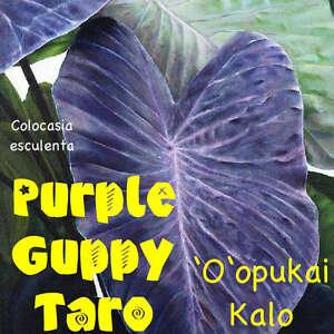 ~PURPLE GUPPY~ TARO Colocasia esculenta NATIVE HAWAIIAN ELEPHANT EAR Potd Plant