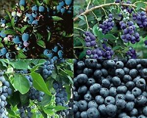 3X LARGE BLUEBERRY BUSH MIXED SELECTION PACK FRUIT PLANTS 2L POTTED