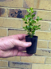 TRAYS OF FORTY TWO JAPANESE BOX HEDGE PLANTS IN TUBES  Buxus Japonica