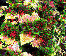 COLEUS KONG SALMON PINK Solenostemon Scutellarioides - 40 Bulk Seeds