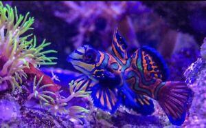 2Lot Green Mandarin Goby's Live Saltwater Aquarium!  *FREE SHIPPING* FISH/REEF