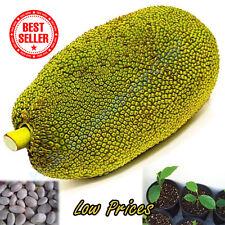 5 Seeds Thailand Jackfruit Fruit Sweet Tasty Crunchy Artocarpus Heterophyllus A+