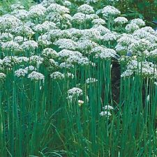 Chives- Garlic- 200 Seeds-     50 % off sale