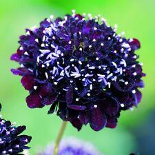 Kings Seeds - Scabiosa Atropurpurea Black Knight - 100 Seeds