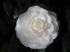 CAMELLIA JAPONICA cv PAOLINA MAGGI v18 1 pianta Camelia a fiore doppio bianco