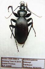 Carabus apotomopterus kowaiyai (male A1) from CHINA