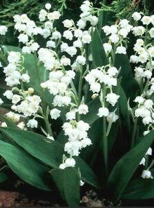 10 Lily of the Valley Perennial Shade Live Plants Bare Root /Convallaria Majalis