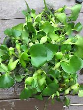 Floating Water Plant Hyacinth or Lettuce Koi Pond You Choose & Combine Shipping