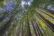 20 Sequoiadendrom Giganteum Giant Sequoia Redwood Tree Fresh Seeds