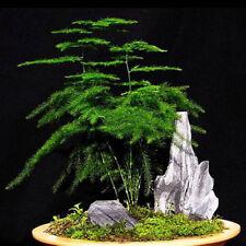 6 Asparagus setaceus Seeds Indoor Green Plant Decoration Home Bonsai Pot
