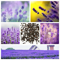 400pcs Lavender English Seeds Organic Untreated Herb Seeds Garden Home Hot Decor