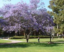 Jacaranda  -  JACARANDA MIMOSIFOLIA - 10 Semillas - Jardín Árboles - Garden Tree