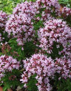 Origanum Vulgare 'Compactum' -Easy Fragrant Rockery Perennial Plant in 9cm Pot