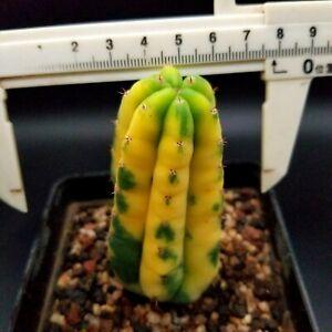 0418 // Ariocarpus/ Astrophytum myriostigma/  Astrophysics asterias/