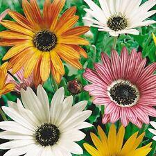 Arctotis x Hybrida Harlequin Flower Seeds from Ukraine