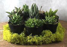 """8 Assorted 2.5"""" Haworthia Succulent Plants Item# 208 H1"""