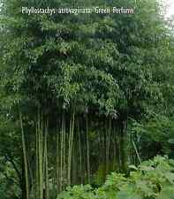 Waterbamboe Phyllostachys atrovaginata 'Green Perfume'  Bambou d'eau   3 planten