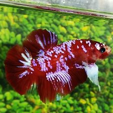 Live Betta Fish BIG GIANT Red Pink Galaxy HMPK Male from Indonesia