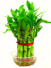 40 Seeds Lucky Bamboo Seeds For Planting Indoor Bonsai Plant Seeds