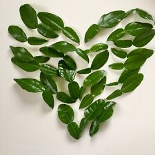 Organic Fresh Kaffir Lime Citrus Hyst Leaves Thai Gourmet Herbs Hand Picked