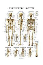 Skeletal System Anatomical Chart - LAMINATED - Human Skeleton Anatomy Poster ...