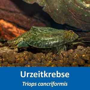 Triops cancriformis - Urzeitkrebse Eier - mit Anleitung