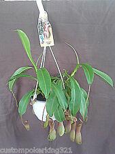 Large Carnivorous Pitcher Plant, Nepenthes, Alata, Hanging Pot - I EAT BUGS!