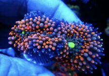 Live Coral Dreef Rainbow Ricordea Mushroom, Zoa, Wysiwyg