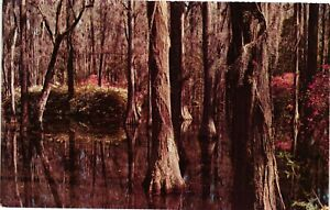 Vintage Postcard - Towering Cypress gardens Summerville South Carolina SC #5247