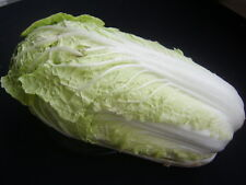 300 graines CHOU CHINOIS PE TSAÏ (Brassica Pekinensis)H835 CHINESE CABBAGE SEEDS