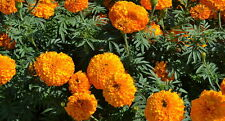 Flower Seed: Lady Orange Marigolds 30 Seeds Fresh Seed Free Shipping!