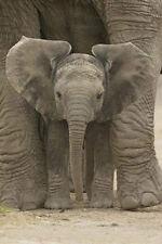 Big Ears Baby Elephant Poster! Animal African Elephant Mammal Classroom kids new