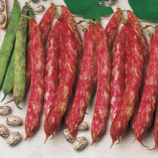 Seeds Giant Beans Borlotto Bush Organic Heirloom Russian Ukraine
