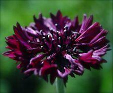 Centaurea Cyanus Seeds - BLACK GEM - Large Cornflower Blooms - 25 Seeds