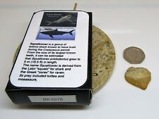 Real fossil crow shark tooth & gift box & information card - dinosaur & nature
