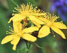 St. John's Wort ( Hypericum Perforatum ) 1000 seeds anti depression herb  CombSH