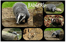 BADGERS - SOUVENIR NOVELTY FRIDGE MAGNET - BRAND NEW, ANIMALS / PETS / GIFTS