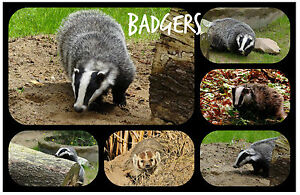 BADGERS - SOUVENIR NOVELTY FRIDGE MAGNET - BRAND NEW, ANIMALS / PETS / GIFTS