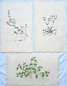 3 WILLIAM CURTIS Botanical HAND COLORED Prints Plates Flora Londinensis C1817 a